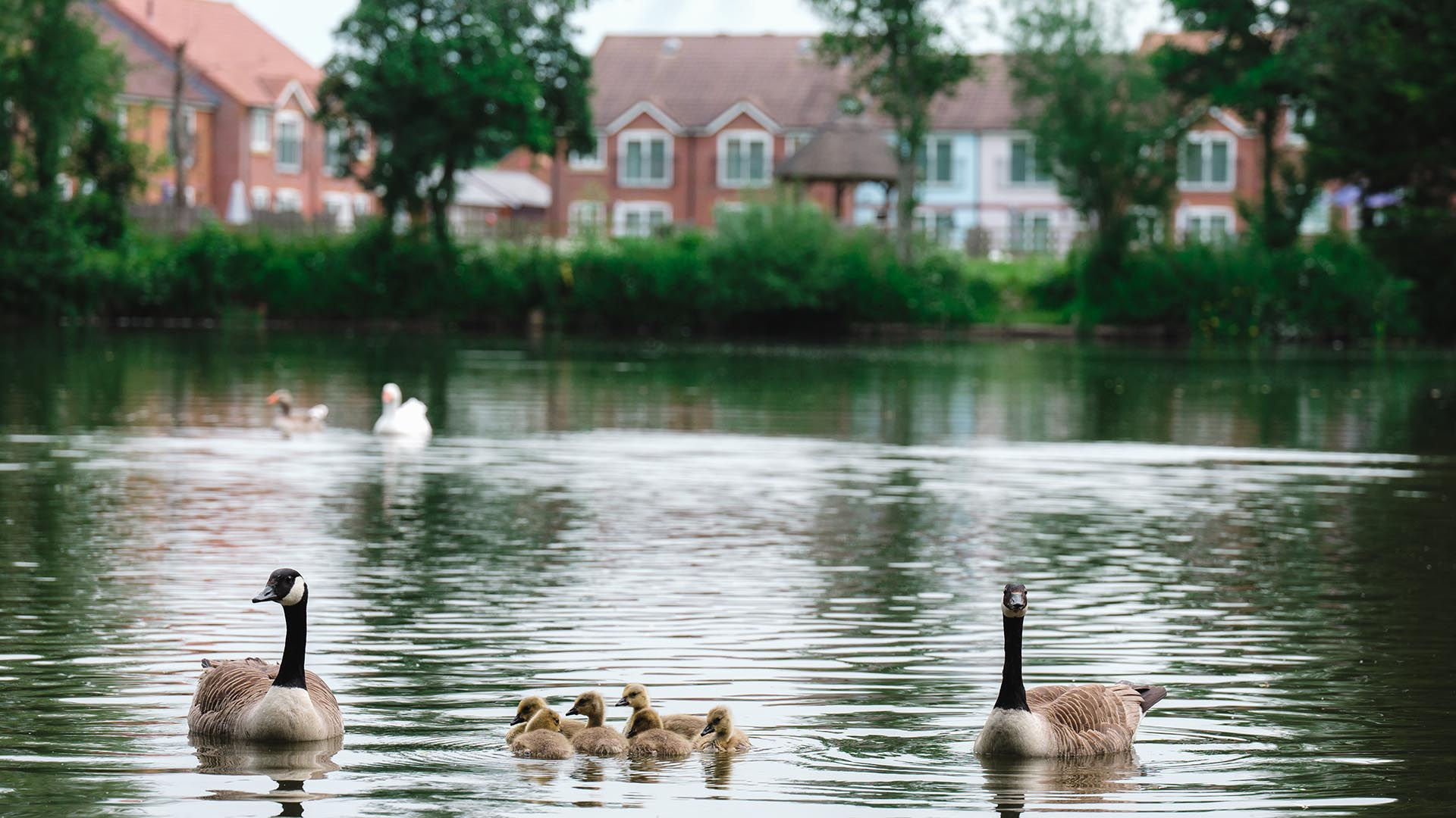 lakeview-holiday-cottages-geese-family-fishing-lakes-somerset